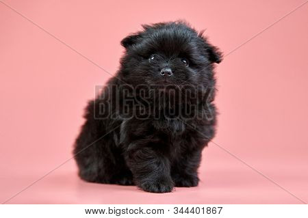 Pomeranian Spitz Puppy. Cute Fluffy Black Spitz Dog On Pink Background. Family-friendly Tiny Dwarf-s