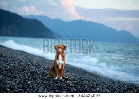 Dog On Vacation. Nova Scotia Duck Tolling Retriever On The Beach By The Sea. Toller In Holliday