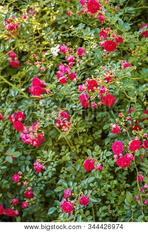 Natural Floral Background. Climbing Roses Of The Old Excelsa Variety. Small Red Flowers On A Backgro