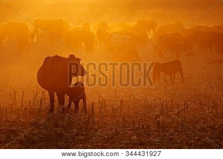 Free-range cattle, including cows and calves, feeding on dusty field at sunset, South Africa