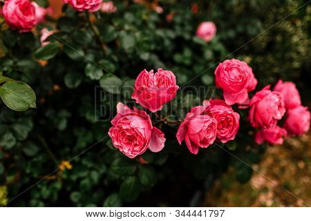 Beautiful Pink Rosebush In The Garden On A Sunny Day. Blooming Garden Roses And Buds.
