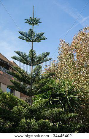 Columnar Araucaria (araucaria Columnaris) In The Garden