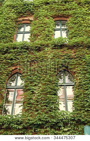 Natural Decorations. Ivy Plant On Wall Of Building. Green Leaves Surface With Windows. Decorated Wit