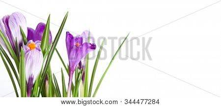 Spring Snowdrop Crocus flowers. Nature background. Horizontal long banner.