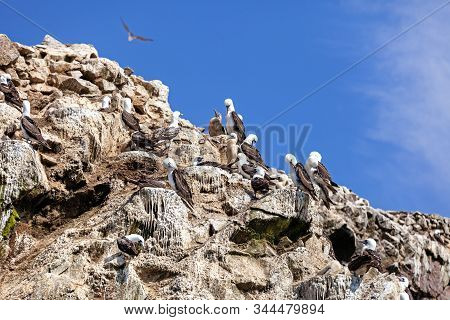 Seagulls Brush Feathers On A Rock Ballestas Islands, Paracas Nature Reserve, Peru, Latin America