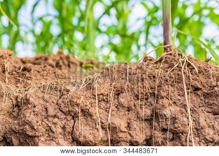 Root Of Young Corn In Field And Texture Of Soil. Environment Concept
