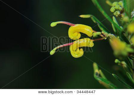 Grevillea 'goldrush'