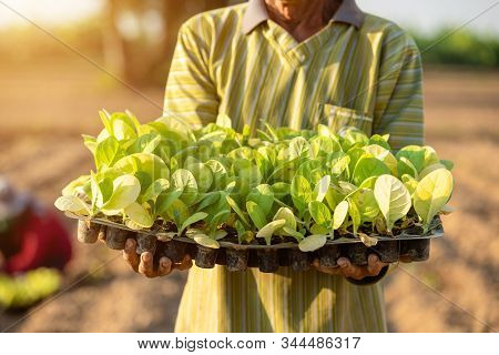 Thai Agriculturist Planting The Young Of Green Tobacco In The Field At Northern Of Thailand