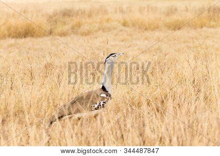 Kori bustard bird. Ngorongoro Conservation Area crater, Tanzania. African wildlife poster