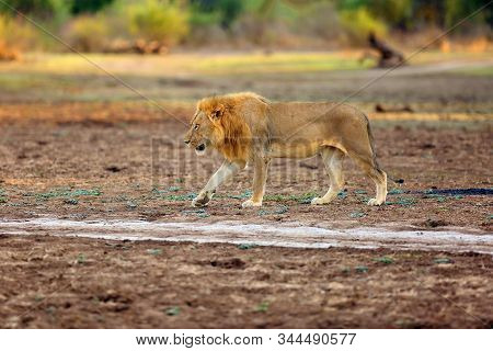 The Southern Lion (panthera Leo Melanochaita) Or Eastern-southern African Lion.big Male Hidden In Th