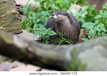 The Asian Small-clawed Otter (amblonyx Cinerea), Also Known As The Oriental Small-clawed Otter Or Si