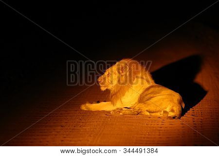 The Southern Lion (panthera Leo Melanochaita) Or Eastern-southern African Lion Or Leo Kruegeri. Lege