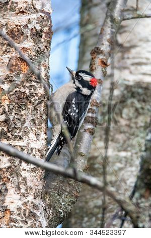 A Picture Of Downy Woodpecker  Hanging On The Tree.    Vancouver Bc Canada