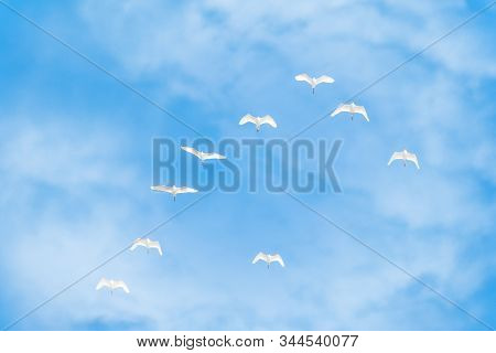Wedge Of White Cranes In The Blue Cloudy Sky. Migratory Birds Flying On Blue Sky. The Siberian Crane