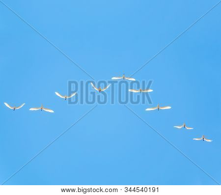Wedge Of White Cranes In The Blue Sky. Migratory Birds Flying On Blue Sky. The Siberian Crane, Leuco