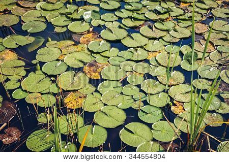 Pads Of Nymphaeaceae Plant Commonly Called Water Lily