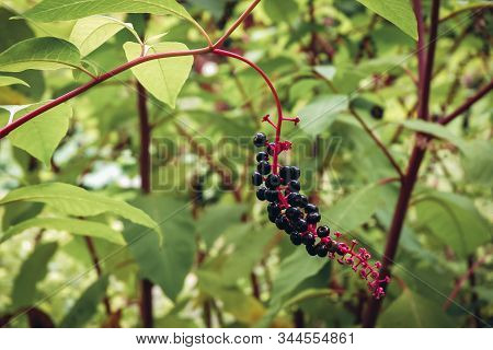 Close Up On Phytolacca Americana Poisonous Herbaceous Perennial Plant Commonly Called American Pokew