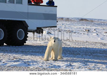 Tundra buggies provide transportation for viewing polar bears in Churchill, Manitoba Canada.  The polar bears come right up to the vehicles to explore during this adventure tour vacation.