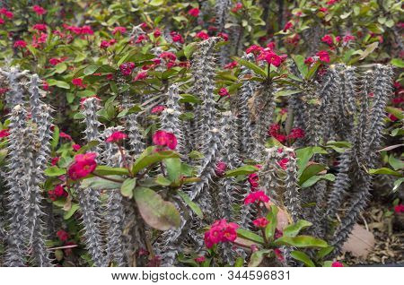 Thorny Stalks Of Flowering Euphorbia, Decoration, Pink,