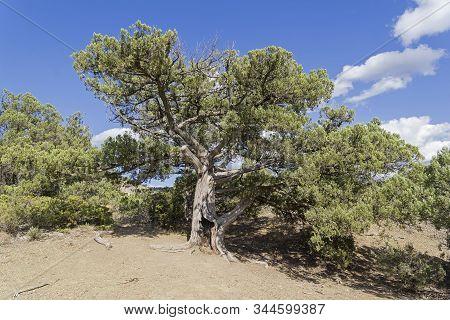 Relic Tree Juniper (juniperus Excelsa) In The Crimean Mountains.