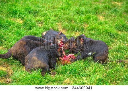 Group Of Tasmanian Devils, Sarcophilus Harrisii, Tear Down A Carcass Of Dead Animal With Ferocity An