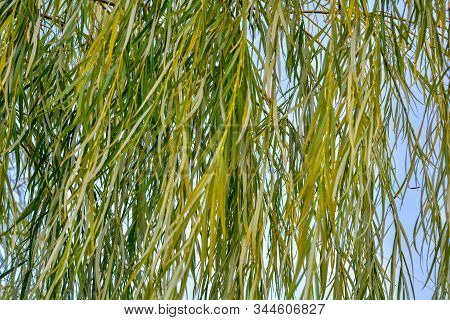 Weeping Willow Tree Foliage Background. Weeping Willow Branches, Green Leaves