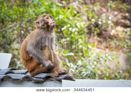 Portrait Of A Rhesus Macaque Monkey On A Roof In Guilin, Guangxi Province, China