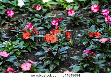 Multicolored Impatiens Plants Blooming Profusely In A Summer Flower Garden.