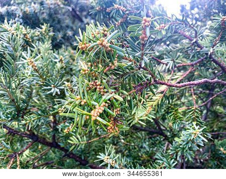 Subalpine Fir Tree With Brown Berries Background In Winter