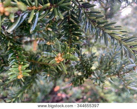 Dew Drop With Reflection Of A Fir Tree