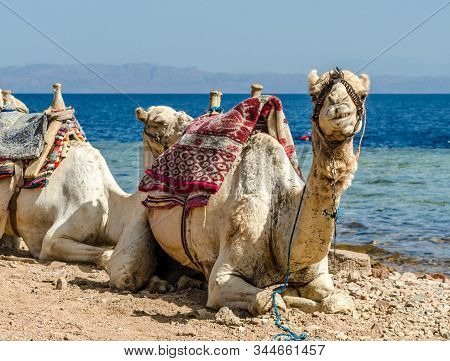 Grinning Camel On Shore Of Sea In Egypt Dahab South Sinai