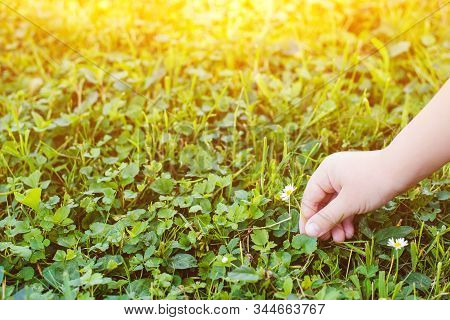 Child Hand Picks Small Daisy In Summer, Cropped Image. Earth Day