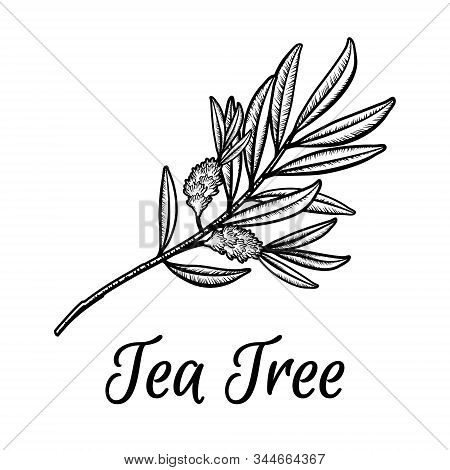 Tea Tree Branch With Flowers And Leaves. Malaleuca Or Tea Tree Engraved Design Composition. Vintage