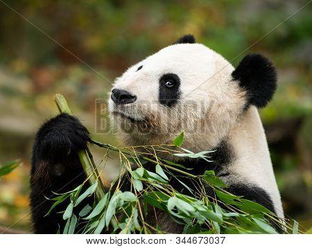 A Young Giant Panda (ailuropoda Melanoleuca) Sitting And Eating Bamboo