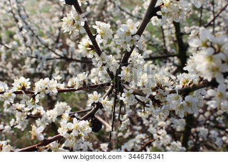 White Spring Blossom Background Of Prunus Spinosa, Also Known As Blackthorn, Or Sloe.