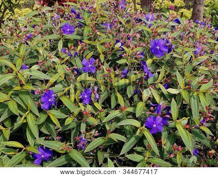 Beautiful Blue Flower In Flower Garden. Blue Flower. Spring Flowers Of Blue Flower. Blue Flower For