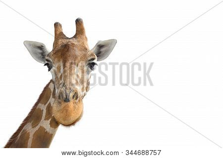 Portrait Of Young Funny Giraffe Standing Close Up On White Background. Funny Giraffe Head Close Up.
