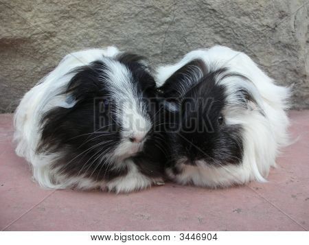 Pair Of Black And White Silkie Guinea Pigs