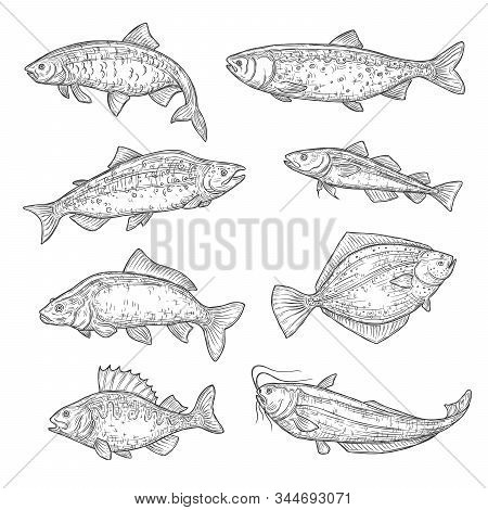 Vector Sketches Of Sea And Ocean Fish Animal. Salmon, Tuna And Perch, Carp, Trout And Flounder, Shea