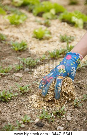 Gardener Spreading A Straw Mulch Around Planted Seedlings To Fertilize And Protect It From The Droug