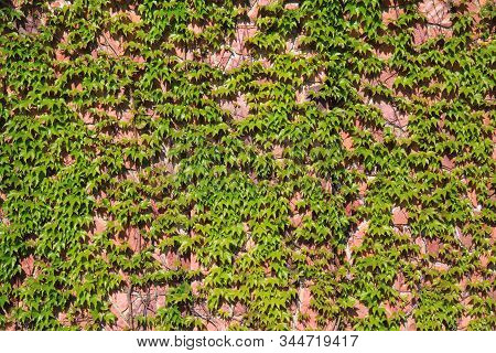 Pink-colored Granite Wall With Branches Of Creeping Vine, Texture, Background. Overgrown With Wild A