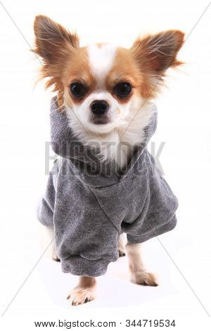 Winter Dressed Chihuahua