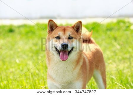 The Dog Breed Shiba Inu Close Up On Green Grass