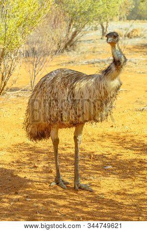 Female Of Emu, Dromaius Novaehollandiae, An Important Cultural Icon Of Australia, Standing. Desert P