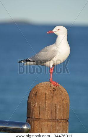 Seagull Sentinel