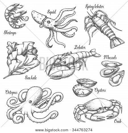 Set Of Isolated Underwater Seafood Sketches. Vintage Illustration Of Crab And Shrimp, Spiny Lobster