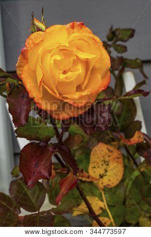 Orange Pinata Climbing Rose Blooming Macro Bellevue Washington State. Last Rose Of Fall.