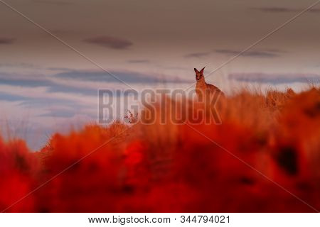 Bennett's Wallaby - Macropus Rufogriseus, Also Red-necked Wallaby, Standing Close To And Running Awa