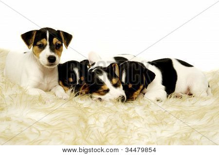 Jack Russell Terrier puppies sleeping on a rug poster
