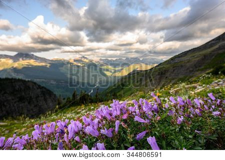 Tiny Purple Wildflowers Bloom High In Montana Mountains In Summer